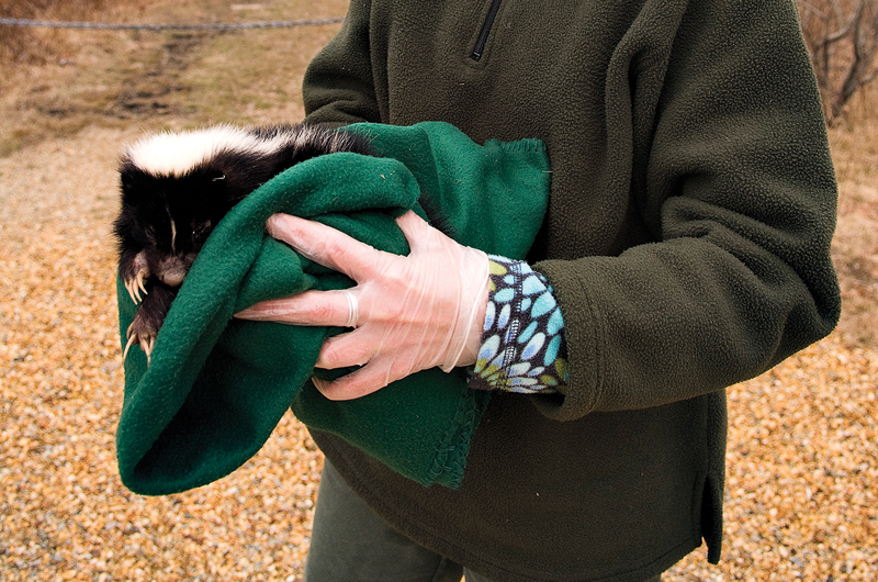 How it Works: Getting Rid of Skunk Smell | Martha's Vineyard