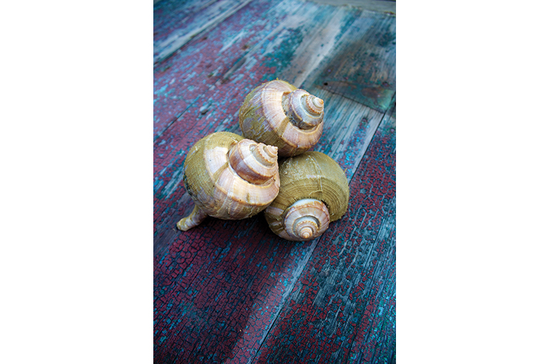 The Hidden World of Conch | Martha's Vineyard Magazine