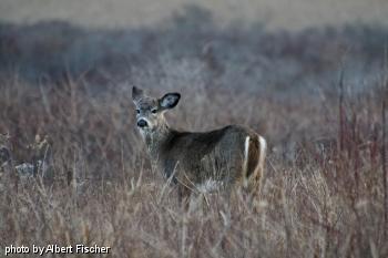 tick deer